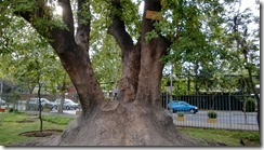 ombu-tree